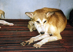 Dog in Philippines