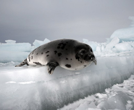 Seal Photo Nigel Barker
