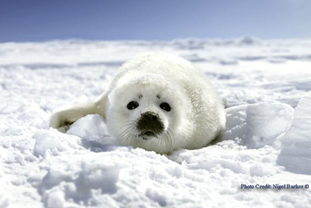 Baby Harp Seal_ Photo Nigel Barker