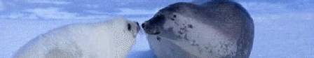 Seals Kissing